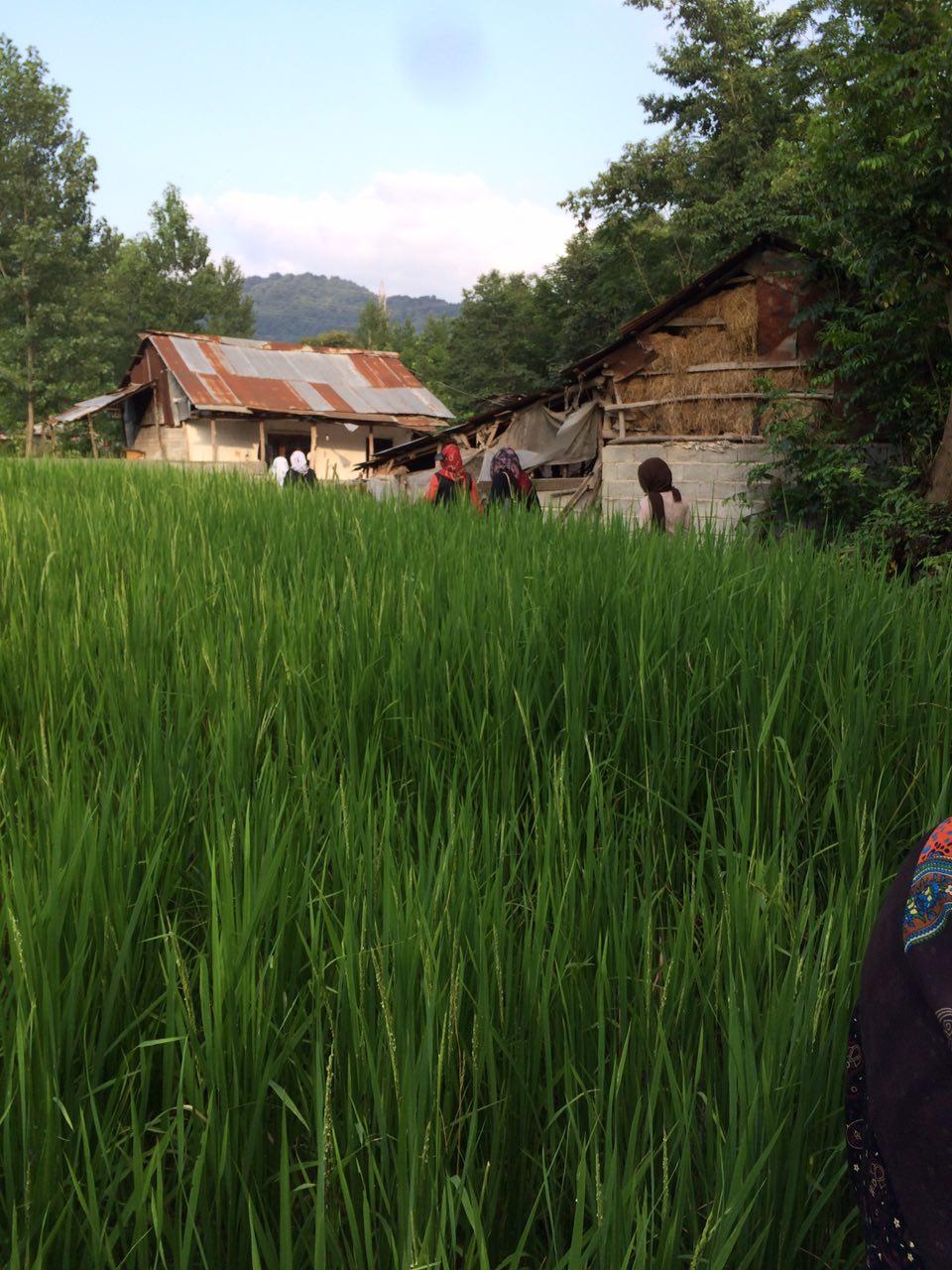 طبیعت درمانی بیماران در شالیزارهای مازندران